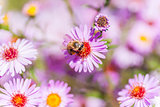 Bee on purple flower collect honey