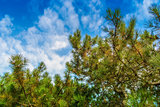 Green branches of a pine  against the blue sky