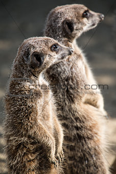 Pair of Meerkats