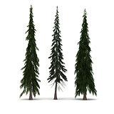 Three Pine Tree