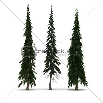 Three Pine Tree
