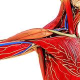 body anatomy model