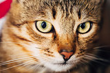 Close Up Portrait Tabby Male Kitten Cat