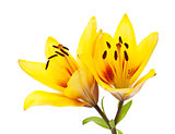 Yellow lily flower