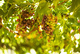 Wine grapes hang from a vine .