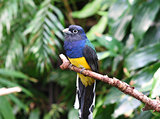 White-tailed trogon bird