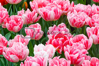 Beautiful pink tulips closeup.