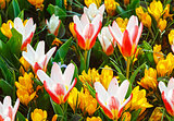 Spring yellow crocuses and white-red tulips (macro)