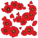 isolate poppy flowers with petal