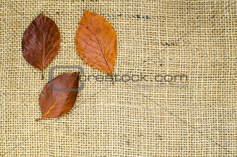Autumn colored beech leaves