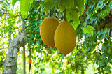 Gac fruit, Baby Jackfruit