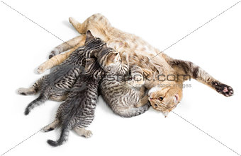 kittens brood feeding by happy mother cat isolated on white back