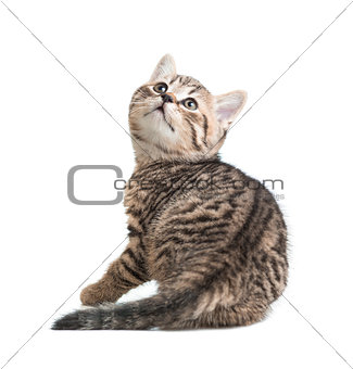 kitten turned back isolated on white
