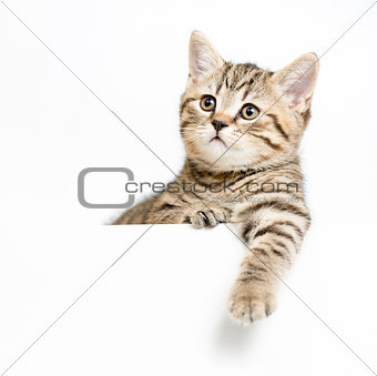 kitten behind white signboard isolated