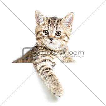 Cat or kitten isolated on white