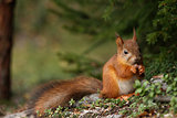 Cute red squirrel in forest