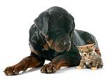 rottweiler and kitten