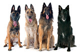 four belgian shepherds