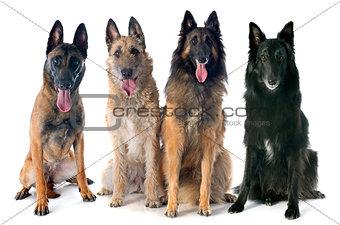 four belgian shepherds