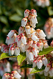 Pieris japonica in bloom