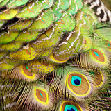 Bird feathers. Peacock