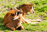 Two sable antelopes