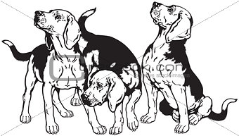 three beagle hounds black white