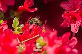 Bumblebee on azalea