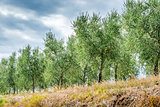 Olive trees Tuscany