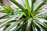 dracena marginata with water drops