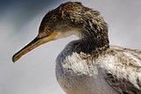 Mediterranean Cormorant