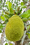 Jackfruit on the tree