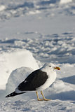 Dominican gull sitting on the ice.