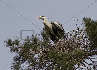 Gray heron sitting in the nest.
