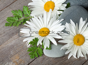 Daisy camomile flowers and sea stones