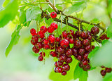 Red currant berry on the bush