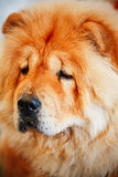 Red Chines Chow Chow Dog