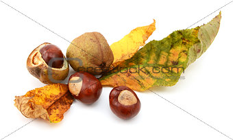 Fall foliage from a red horse chestnut with conkers