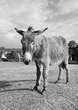 New Forest donkey in Lyndhurst, Hampshire
