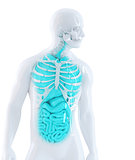 3d illustration of a human internal organs. Isolated. Contains clipping path