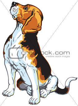 sitting beagle hound