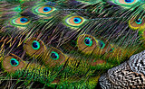 Bird feathers. Peacock