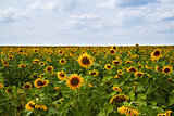 Sunflowers - Stock Image