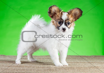 Portrait of cute Papillon puppy