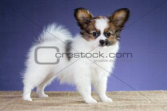 Beautiful puppy of breed papillon