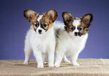 Adorable puppies of breed Papillon