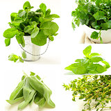 collage of different kinds of herbs (thyme, mint, basil, sage)