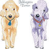 vector dog Bedlington Terrier breed