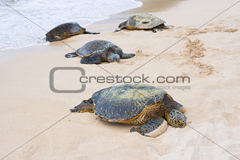 Tortoises in the Turtle bay