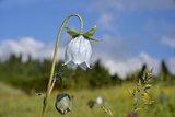 bell-flower
